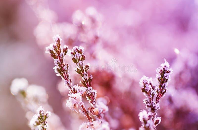 Zamarznięty wrzosu kwiat obraz royalty free