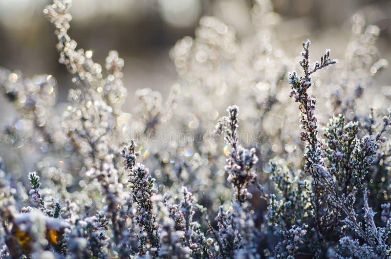 Zamarznięty wrzosu kwiat obrazy royalty free