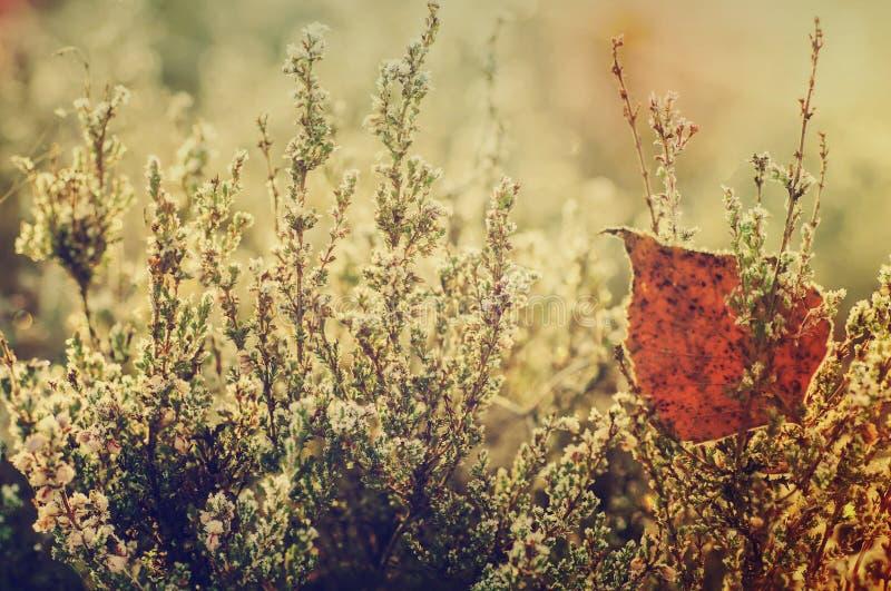 Zamarznięty wrzosu kwiat zdjęcia royalty free