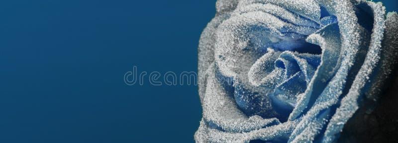 Zamarznięty wzrastał w śniegu Zakończenie tło płatków śniegu biały niebieska zima zdjęcia stock