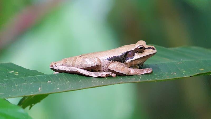 Zamaskowana Drzewna żaba, Smilisca phaeota Peched na liściu Costa Rica zdjęcie stock