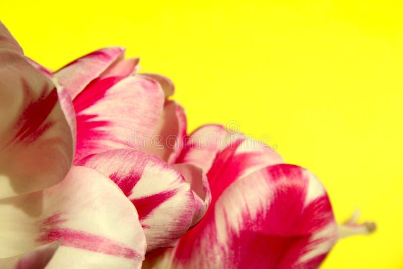 Zamazana rewolucjonistka Kwitnie na Żółtym tle zdjęcia stock
