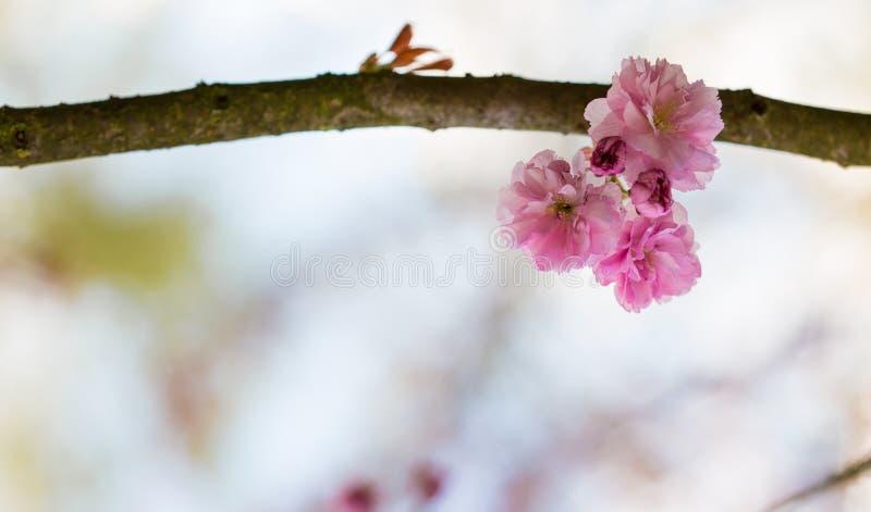 Zamazana tło otoczka z gałąź z różowymi kwiatami Japoński czereśniowy drzewo fotografia royalty free