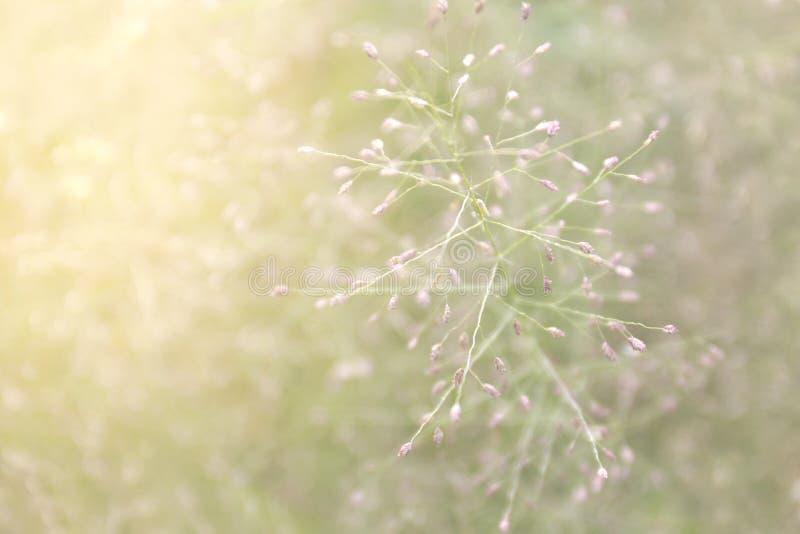 Zamazana trawy natura, miękka trawa kwitnie świeżego dla tła, małej trawy łąkowa plama w słońca światła ranku dniu, naturalny kwi obraz royalty free