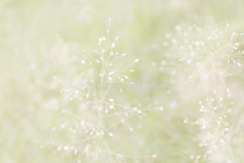 Zamazana trawy natura, miękka trawa kwitnie świeżego dla tła, małej trawy łąkowa plama w słońca światła ranku dniu, naturalny kwi zdjęcie royalty free