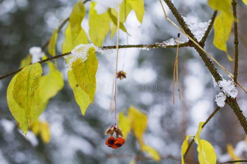 Zamazane tło natury jesieni jagody i liście przeciw pierwszy śniegowi obraz stock