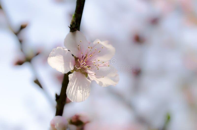 Zamazany Czereśniowy drzewo kwitnie, Czereśniowego okwitnięcia festiwal, Gruzja usa fotografia royalty free