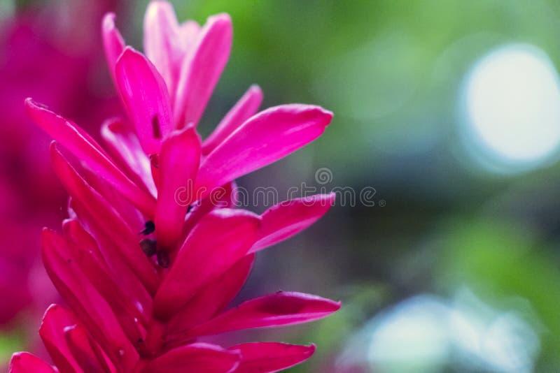 Zamazany natury tło z tropikalnym czerwonego imbiru kwiatem i kopii przestrzenią zdjęcie royalty free