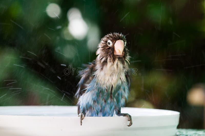 Zamazany ruch bierze skąpanie z wodnym pluśnięciem na zamazanym ogrodowym tle lovebird papuga fotografia royalty free