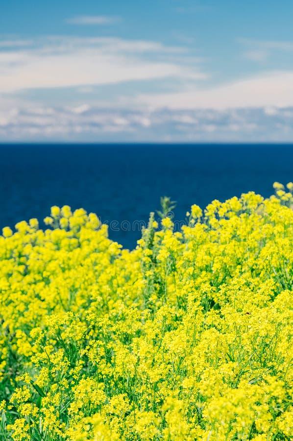 Zamazany tło colza lub rapeseed kwitnie przeciw morzu i zdjęcie stock