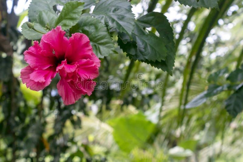 Zamazujący w górę różowego poślubnika kwiatu w ogródzie z kopii przestrzenią zdjęcie royalty free