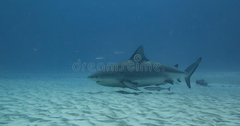 Zambesi-Haifisch im Wasser von Play Del Carmen stockbilder