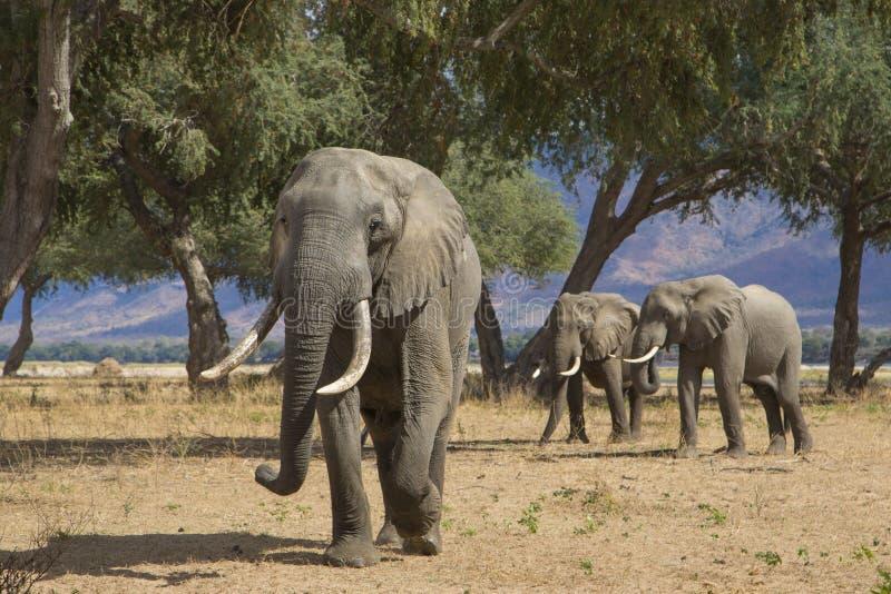 Zambezi jättar arkivfoton