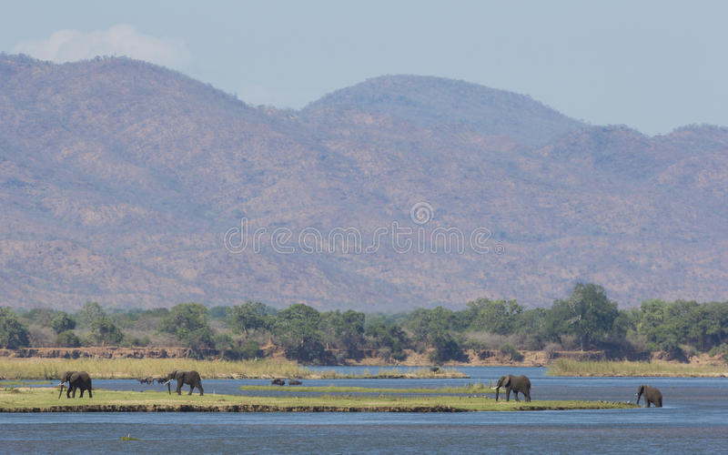 Zambezi River djurliv royaltyfria foton