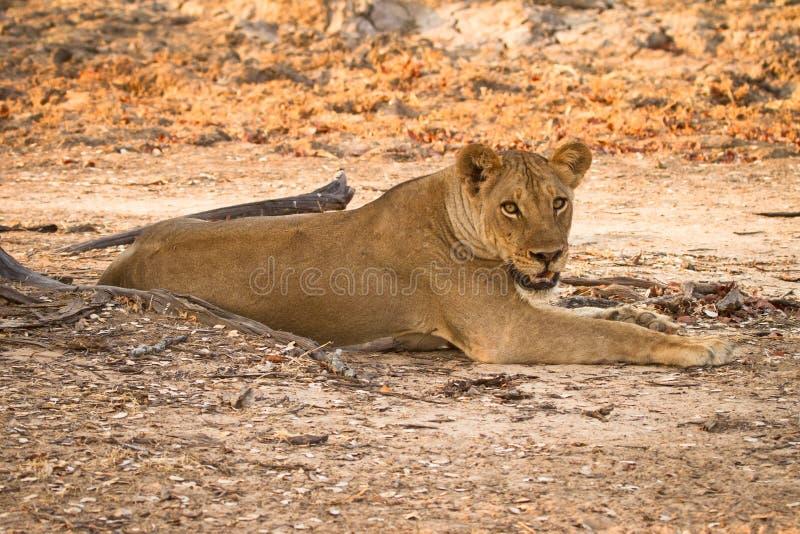 Zambia del safari foto de archivo