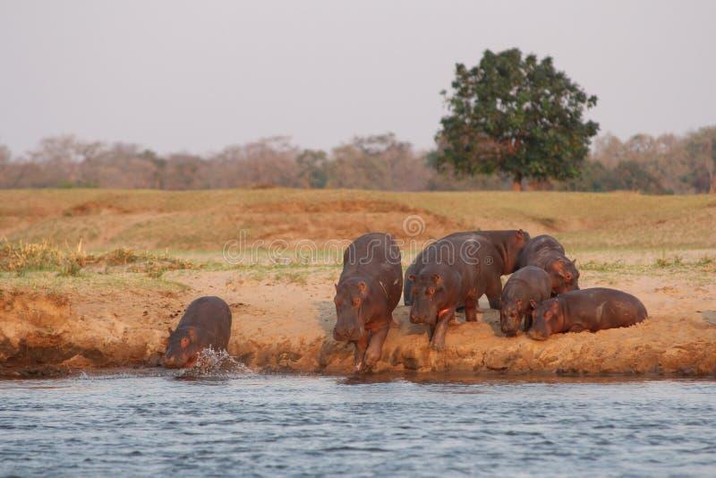 Zambia: Hippos die naar de Rivier van Zuidenluangwa lopen stock afbeeldingen