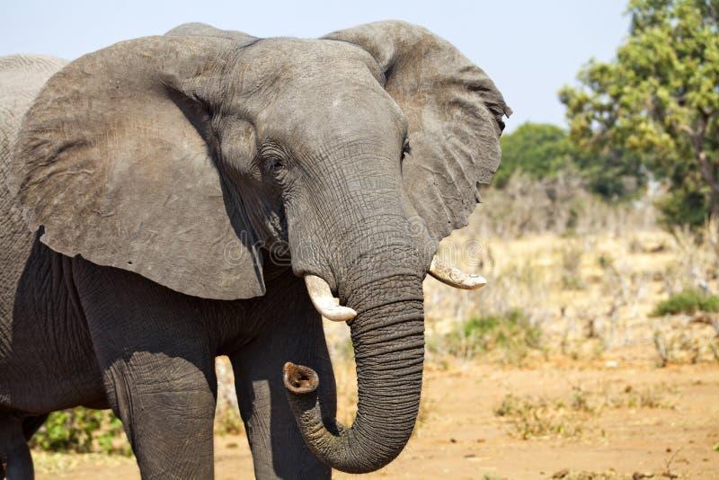 Zambiaanse jonge volwassen olifant stock afbeelding