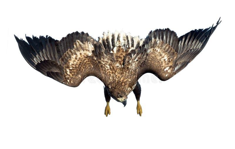 zambullida Blanco-atada del águila en vuelo juvenil Aislado en el fondo blanco fotos de archivo