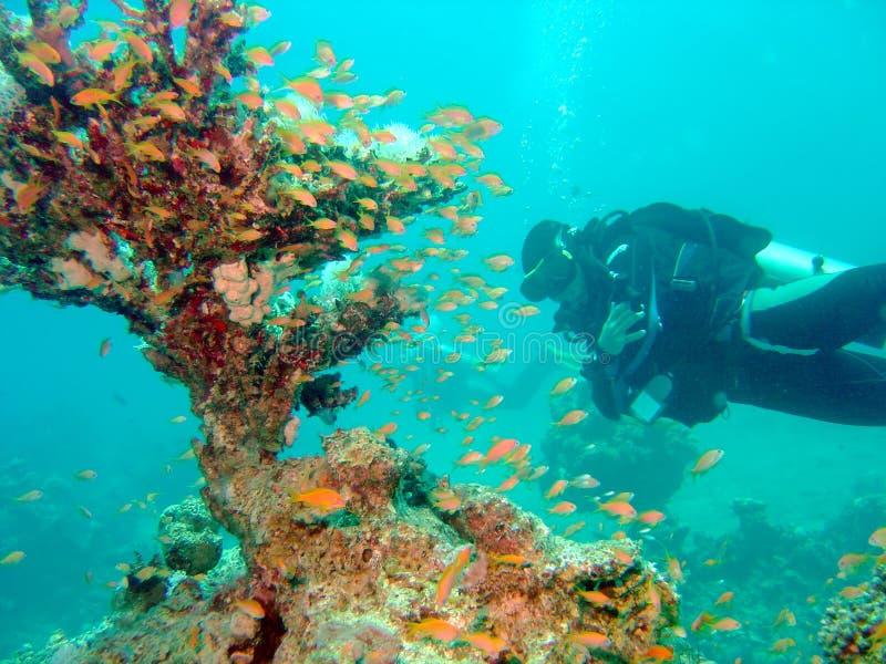 Zambullidor con el coral del ventilador imagen de archivo libre de regalías