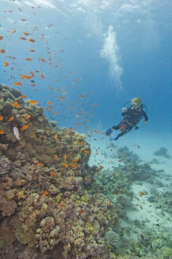 Zambullidor de equipo de submarinismo en un filón coralino foto de archivo libre de regalías