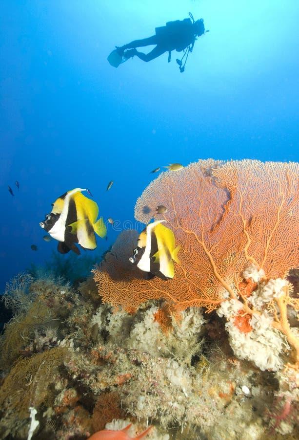 Zambullidor de EQUIPO DE SUBMARINISMO y filón coralino colorido imágenes de archivo libres de regalías