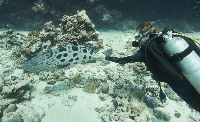 Zambullidor que acaricia un bacalao gigante de la patata foto de archivo libre de regalías