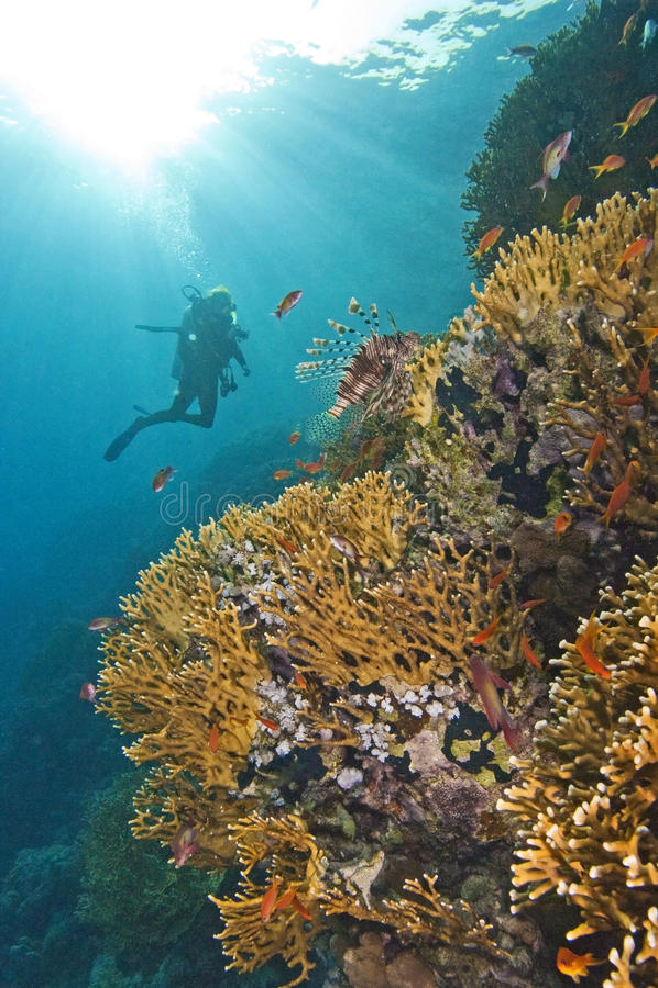 Zambullidor que explora un filón coralino foto de archivo