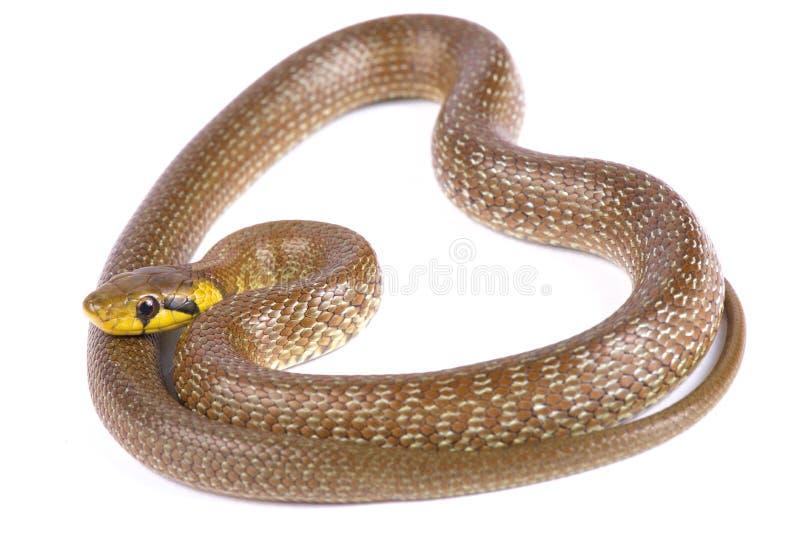 Zamenis Aesculapian de serpent longissimus image libre de droits