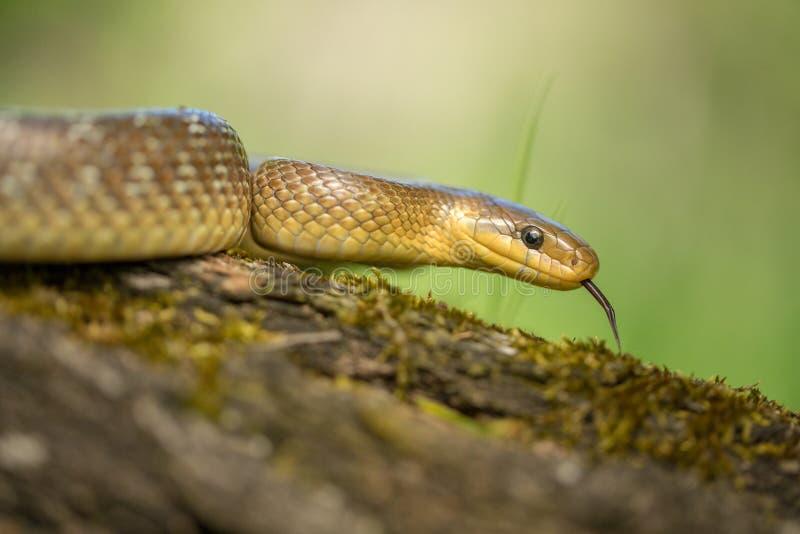 Zamenis Aesculapian de serpent longissimus dans la République Tchèque image libre de droits