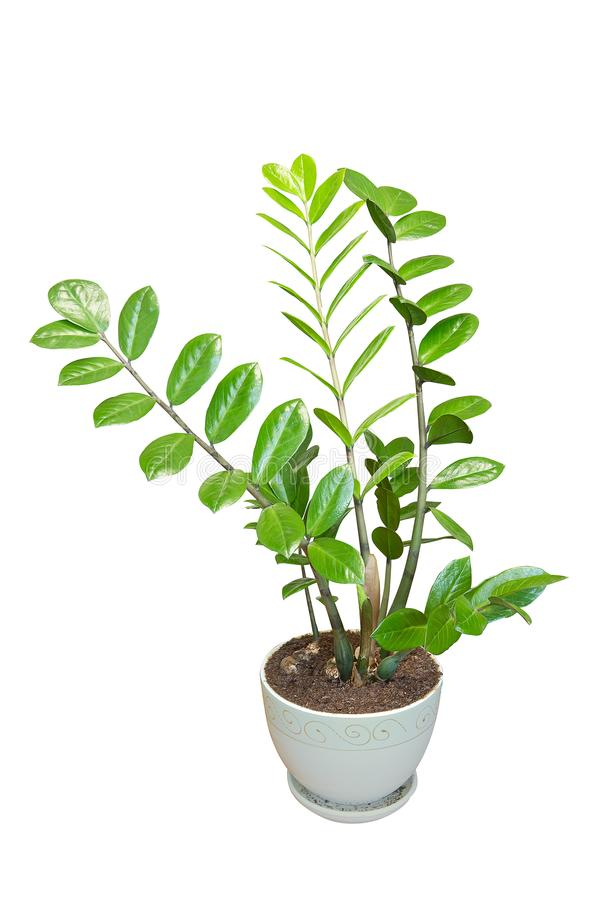 Zamioculcas home plant in a flower pot isolated on white stock photo