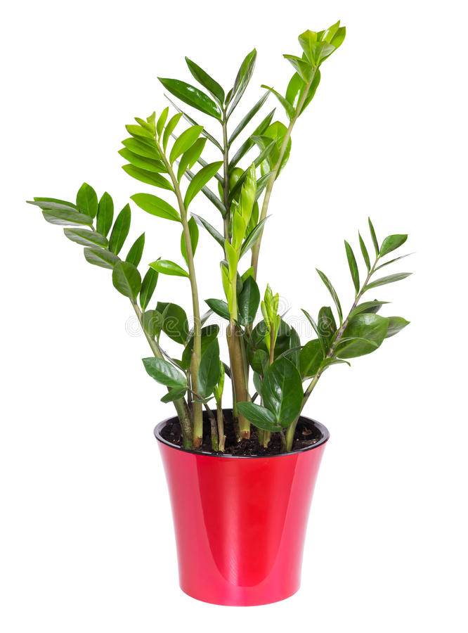 Zamioculcas isolated on white background royalty free stock photography