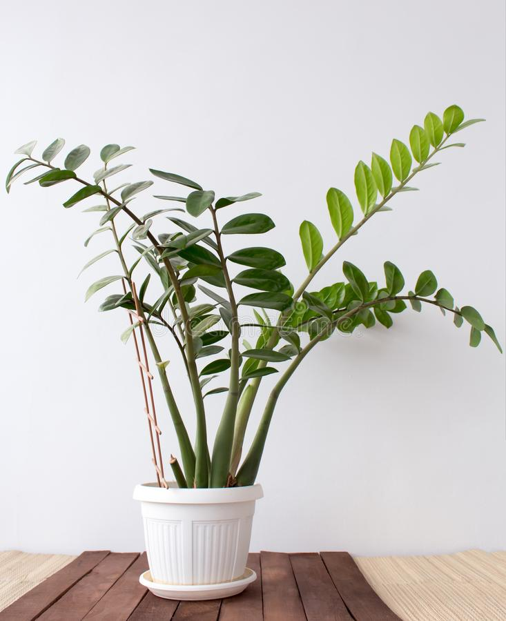 Zamioculcas plant growing in a pot at home royalty free stock photos
