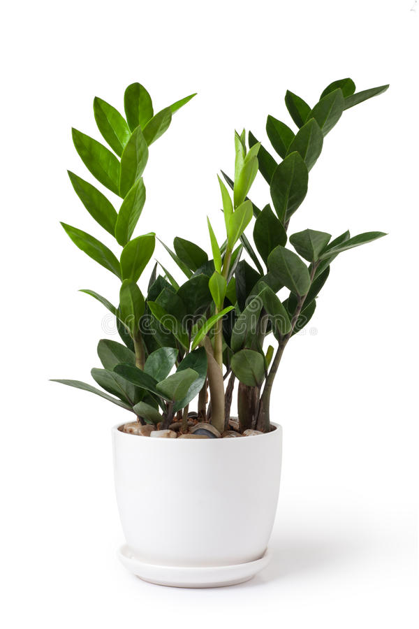 Zamioculcas. In a white flowerpot stock photo
