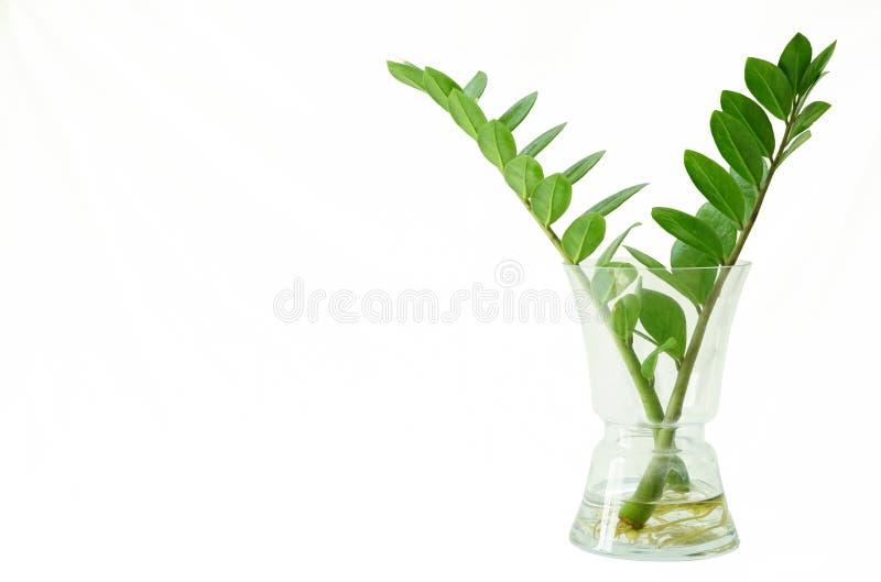 Zamioculcas Zamifolia en una botella de cristal clara en el baclground blanco fotografía de archivo libre de regalías