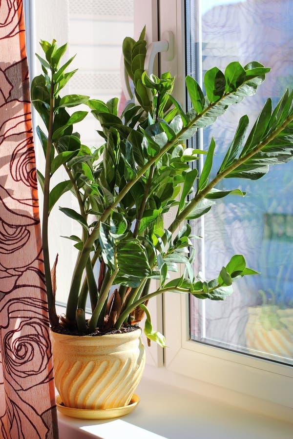 Zamioculcas zamiifolia -温室植物 免版税库存图片