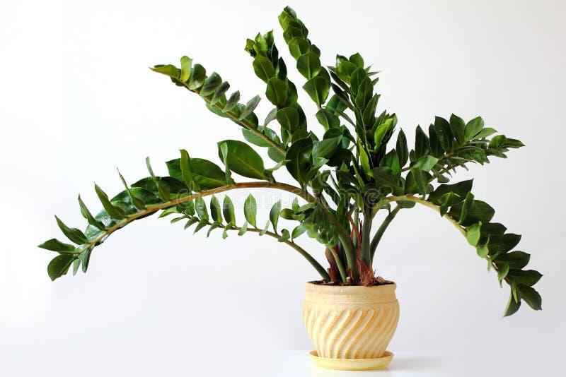 Zamioculcas zamiifolia -温室植物 图库摄影