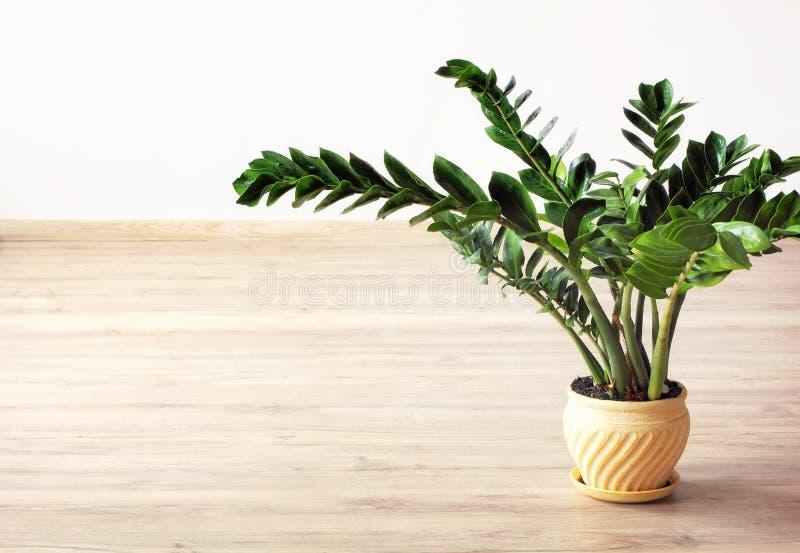 Zamioculcas-zamiifolia - grüne Zimmerpflanze lizenzfreies stockbild