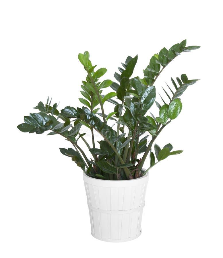 Zamioculcas Zamiifolia Plant Stock Image