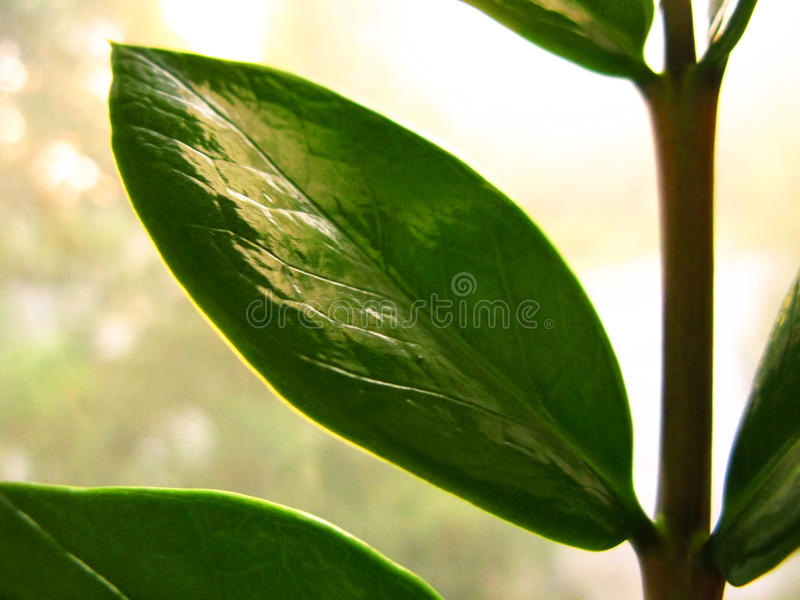 Zamioculcas zamiofolia home plant flower leaf on the window glass dry raindrops sun shine background photo royalty free stock images