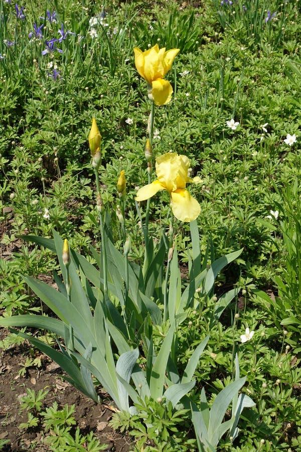 Zamknięci pączki i żółci kwiaty brodaty irys fotografia stock