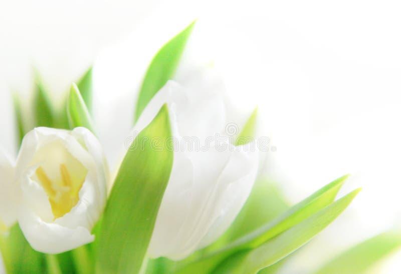 zamknięci tulipany up biel obraz royalty free