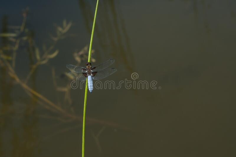 Zamknięcie owadów z gatunku Dragonfly zdjęcia royalty free
