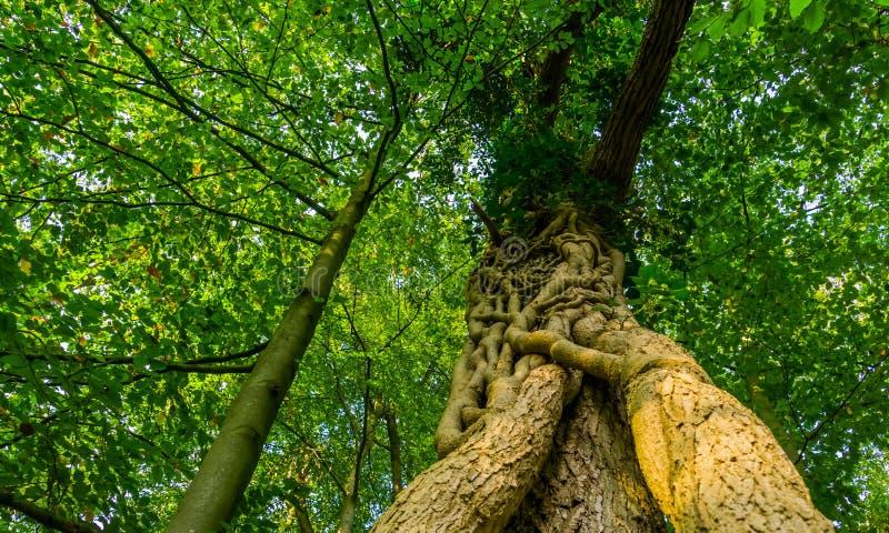 Zamknięcie pnia drzewa w lesie liesbos breda, holandii, drzew rosnących razem fotografia royalty free