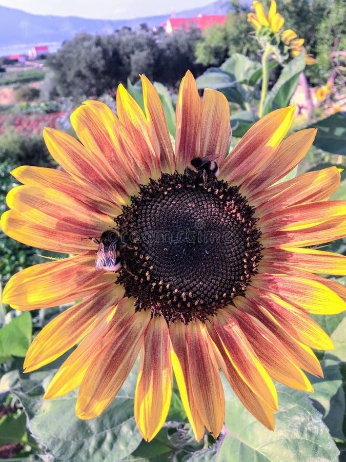 Zamknięcie pszczół zapylających słonecznik obraz royalty free