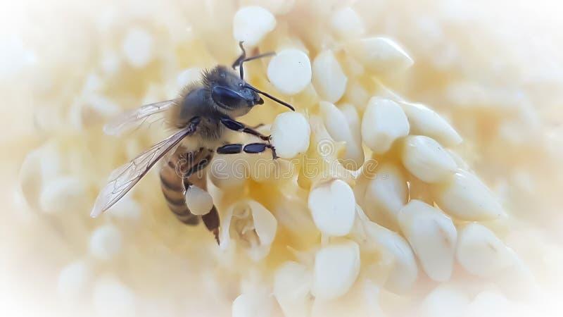Zamknięcie pszczoły miodnej zdjęcie royalty free