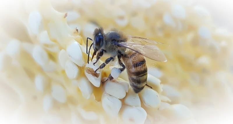 Zamknięcie pszczoły miodnej obrazy stock