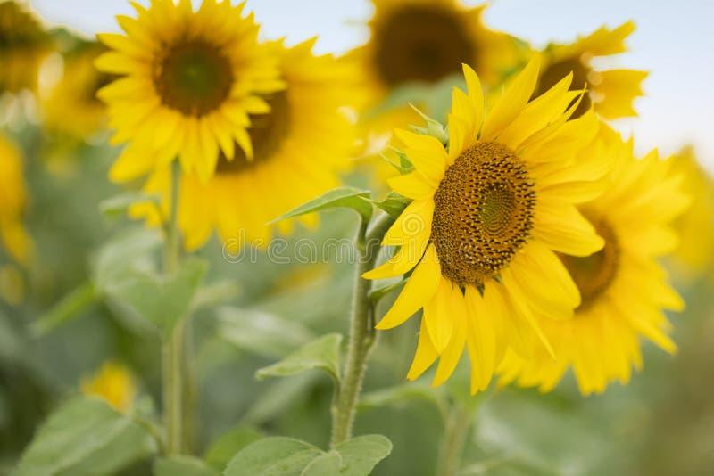 Zamknięcie słonecznika Olej słonecznikowy może być stosowany do silników Diesla, jeżeli jest mieszany z olejem napędowym w zbiorn obraz royalty free