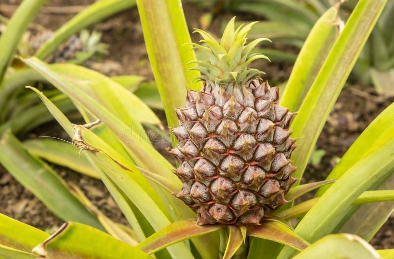 ZamkniÄ™cie uprawy ananasów w zielonym domu #1 zdjęcia stock