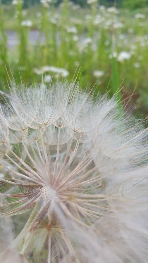 zamknięta dandelion kwiatu ilustracja zamknięty vector obraz stock