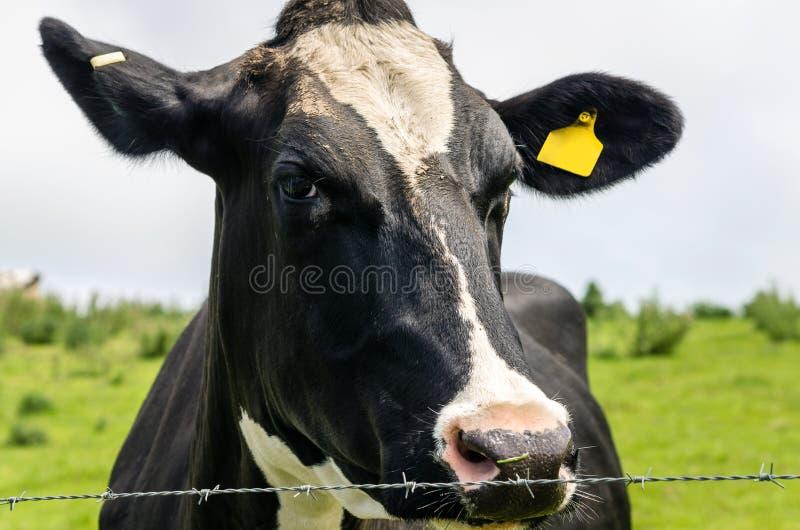 zamknięta krowy nabiału głowa s zamknięty obrazy royalty free